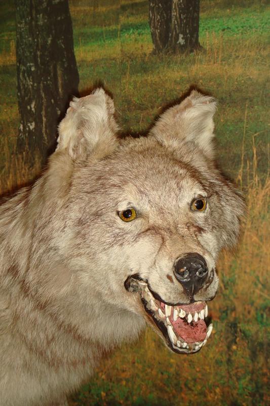 фото страшные волки