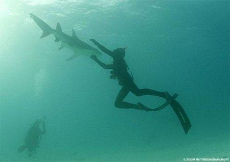 ...более 30 тигровых акул у побережья Южной Африки - таким необычным и...