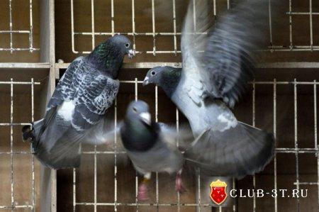 Разведение голубей или подари себе сизаря