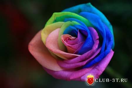 Роза - радуга
